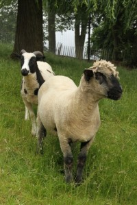Horni Sheep_SpotandTed