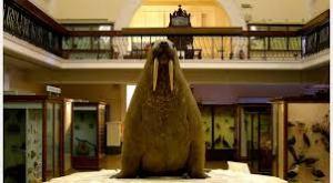 Horni walrus