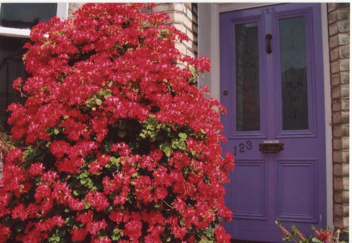 Purple door and geranium bush