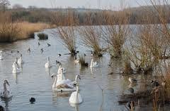 coole swans